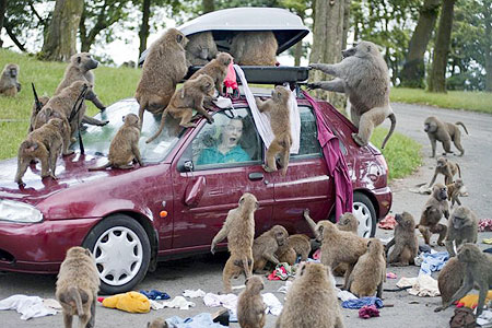 Excitable primates monkeys and muslims al fin next level monkeys attacking automobile fandeluxe Choice Image