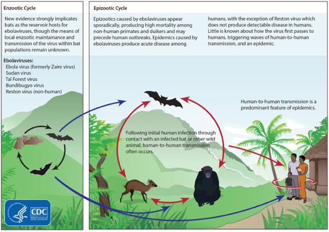 Proposed Ebola Viral Cycle https://en.wikipedia.org/wiki/Ebola_virus_disease