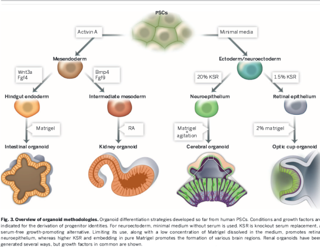 Organoids Offer Many Possibilities http://homepage.univie.ac.at/ernst.muellner/expgen3/papers/%232a--2014-07-Knoblich-Brain-new-Science-Review.pdf