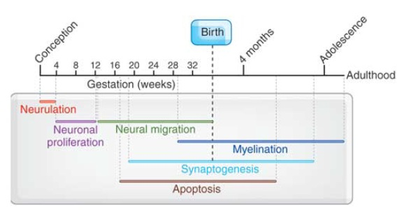 Timeline of Brain Development Processes Wikipedia