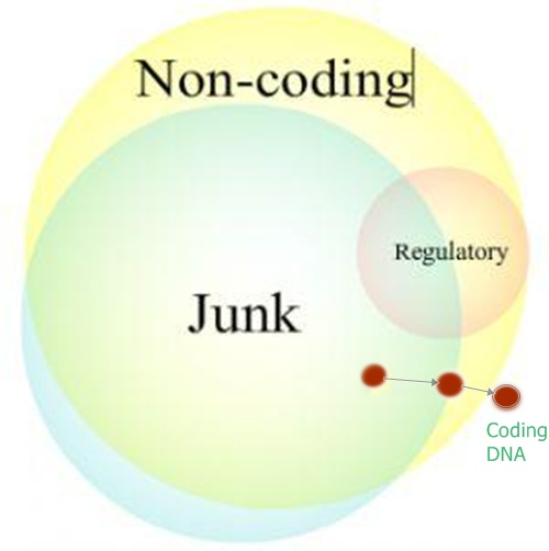 Coding DNA Appearing Out of Non-Coding DNA http://blogs.scientificamerican.com/guest-blog/junk-dna-junky-pr/