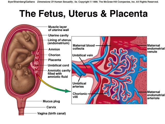 Fetus, Uterus, Placenta