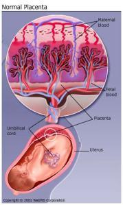 Closeup of Placenta