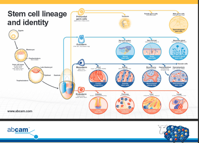 Stem Cell Menagerie http://www.abcam.com/ps/pdf/stemcells/lineage_and_identity.pdf