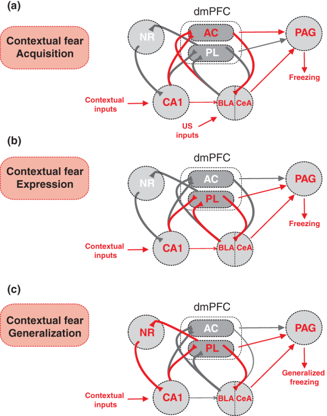 Neuronal circuits mediating contextual fear acquisition, expression and generalization. (a) Contextual fear acquisition requires a representation of the environment within the CA1 region of the ventral hippocampus. This contextual information is then relayed to the basolateral and central nuclei of the amygdala (BLA/CeA), a structure of the medial temporal lobe involved in the formation of context-US associations. Contextual fear acquisition has also been shown to depend on dorsal medial prefrontal (dmPFC) regions, including the AC, which is known to receive inputs from the ventral CA1. Output circuits involved in the genesis of conditioned fear responses include projections from the AC or AMG to the ventrolateral periaqueductal grey (vlPAG). (b) Contextual fear expression has been shown to be dependent on the prelimbic region (PL) of the dmPFC, which receives inputs from both the ventral CA1 and the BLA. Output circuits involved in the genesis of conditioned fear responses include projections from the PL or BLA/CeA to the vlPAG. (c) Contextual fear discrimination has been shown to strongly depend on precise contextual representations provided by a reciprocal circuit between the ventral CA1, the PL, and the NR, which projects back to the hippocampus. Alterations within this circuit leads to fear generalization in non-conditioned contexts. The expression of fear generalization might involve direct projections from the PL to the vlPAG or indirect connections through the BLA/CeA. Red arrows and letters indicate structures and projections involved during specific contextual fear memory phases. Gray arrows and projections indicate hypothesized functional connectivity during specific contextual fear memory phases. http://onlinelibrary.wiley.com/enhanced/doi/10.1111/gbb.12181