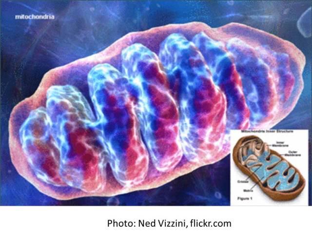 Mitochondria http://thebrainbank.scienceblog.com/files/2013/04/Mitochondria.jpg
