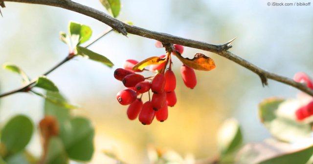 "Berberine ""Fruit"""