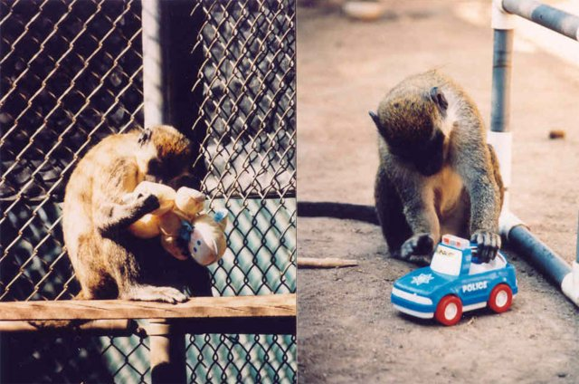 Sex hormones determine male and female brain differences al fin a female vervet monkey conducting an anogenital inspection examining the genital area of the doll in an attempt to determine whether it is male or female fandeluxe Choice Image